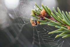 Grön spindel fångad fluga Makro Royaltyfri Fotografi