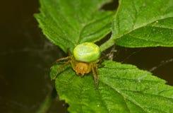grön spindel för gurka fotografering för bildbyråer