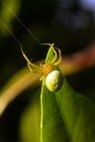 grön spindel för gurka arkivfoto