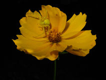 Grön spindel på den gula blomman Royaltyfri Fotografi