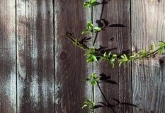 Grön Sprig på den Wood staketplankan med fnurror arkivfoto