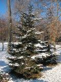 grön spruce Fotografering för Bildbyråer