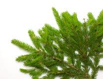 grön spruce för filial arkivfoton