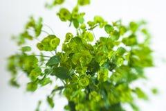 Grön spurge för cypress för blommaEuphorbiacyparissias Royaltyfria Foton