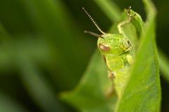 Grön stående för gräshoppamakrocloseup Arkivfoto