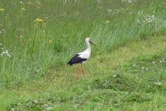 grön stork för gräs Arkivbilder
