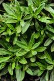 Grön suckulent blomma Arkivbild
