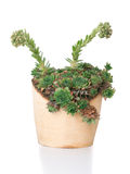 Grön suckulent växtsempervivum i träkruka royaltyfri fotografi