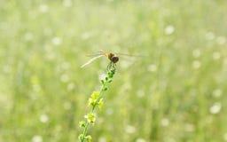 Grön suddig bakgrund med sländan på blomman Fotografering för Bildbyråer
