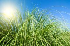 grön sun för gräs Fotografering för Bildbyråer