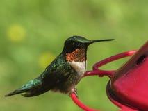 Grön surrfågel som äter på den röda förlagemataren Royaltyfria Bilder
