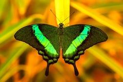 Grön swallowtailfjäril som vilar på ett blad Arkivfoton