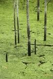 grön swamp Arkivfoton