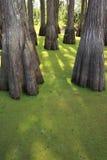 grön swamp Arkivbilder