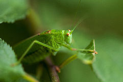 Grön syrsagräshoppa Arkivbild