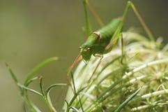 Grön syrsagräshoppa Fotografering för Bildbyråer