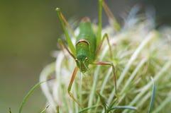Grön syrsagräshoppa Royaltyfri Foto