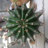 Grön taggig kaktus i en blomkruka Arkivfoto