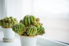 Grön taggig kaktus på en ljus fönsterbakgrund Royaltyfri Bild