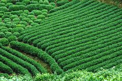 grön tea för fält Arkivbild
