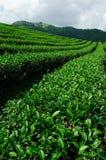 grön tea thailand för chiangraifält Fotografering för Bildbyråer