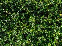 Grön tebladbakgrund i solljus Arkivbilder
