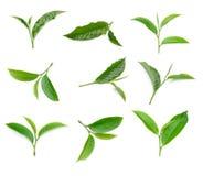 Grön tebladsamling på vit bakgrund Royaltyfria Bilder