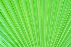 Grön textur av palmbladet Royaltyfria Bilder