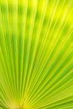 Grön textur av palmbladet Royaltyfria Foton