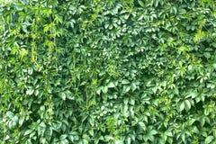 Grön textur för bladväggbakgrund i trädgården arkivfoto