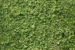 Grön textur för buskeväggbakgrund Arkivfoton