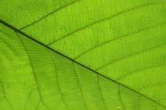 Grön textur för cellstruktur av naturbladet Arkivfoto