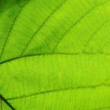 Grön textur för cellstruktur av naturbladet Royaltyfri Fotografi