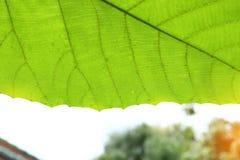 Grön textur för cellstruktur av naturbladet Arkivfoton
