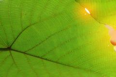 Grön textur för cellstruktur av naturbladet Arkivbild