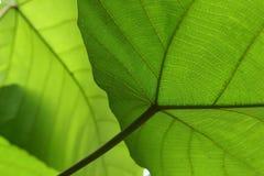 Grön textur för cellstruktur av naturbladet Royaltyfri Foto