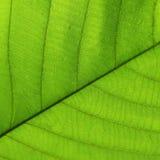 Grön textur för cellstruktur av naturbladet Royaltyfri Bild