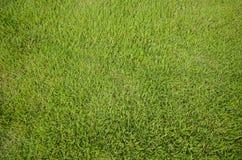 grön textur för gräs Arkivfoton