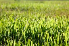 grön textur för gräs Royaltyfri Foto