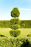 Grön thuja för Topiary med häcken på bakgrund i dekorativa garde Royaltyfri Fotografi