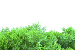Grön thuja, thuya som isoleras på vit bakgrund royaltyfri fotografi