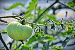 Grön tomat Arkivbild
