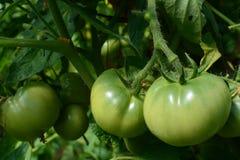 grön tomat Arkivfoton