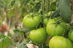 Grön tomatoe Royaltyfria Bilder
