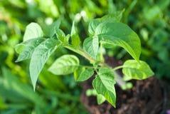 Grön tomatväxt Fotografering för Bildbyråer
