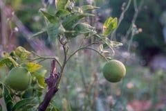 Grön trädgård för citronträd royaltyfri bild