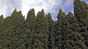 Grön trädgårds- thuja i vinden arkivfilmer