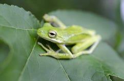 Grön trädgroda för amerikan på ett Sweetgum blad, cinerea Hyla Royaltyfria Bilder
