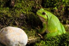 Grön trädgroda för europé som lurar för rov i naturlig miljö Arkivfoton