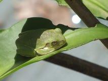 Grön trädgroda som ta sig en tupplur på bladet för cereus för blomma för natt Royaltyfria Foton